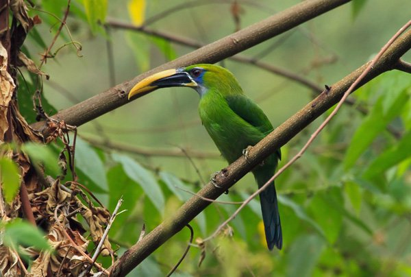399-yellow-billed-toucanet-minca